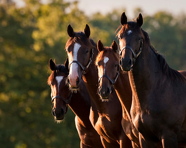Yearling Colts in Kentucky