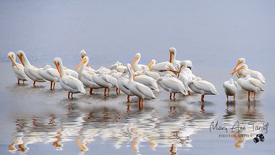 White Pelicans of Sanibel Island