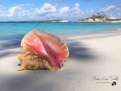 Large Conch