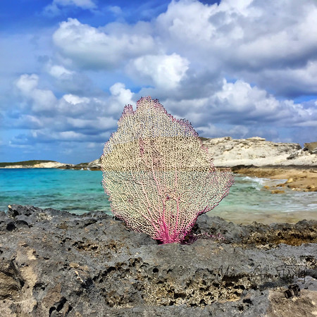 Sea Fan Square, Centered