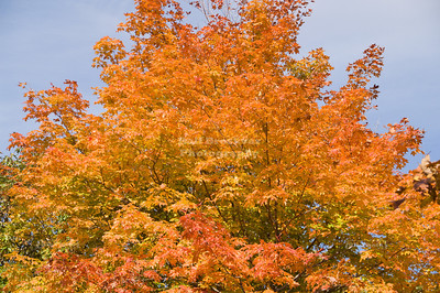 Tree in fall colors at Baer Mountain State Park, New York, USA