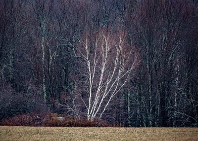 Birch Contrast