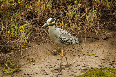 Yellow-crowned Night-Heron (Nyctanasssa violacea)