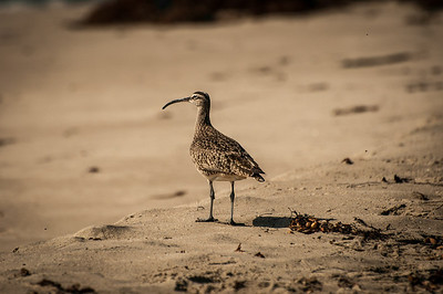 Whimbrel Sandpipers (Numenius phaeopus)