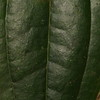SAJ0428 Smilax zeylanica
