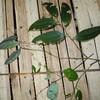 SAJ1129 Smilax calophylla