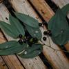 SAJ1460 Smilax calophylla