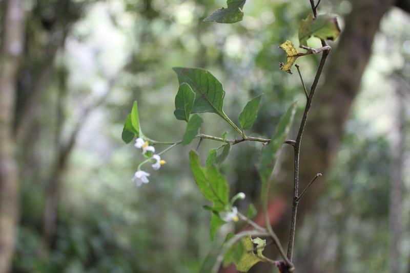 Conn5458 Solanum nigrum