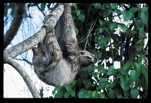 Columbian Tree Sloth