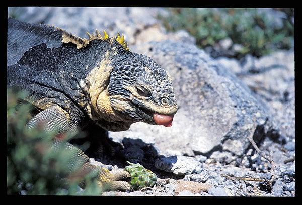 Galapagon Iguana