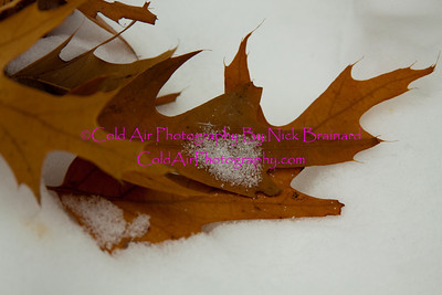Hastings_SchaarsLeaf.jpg  This collection of oak leaves highlight three seasons, the leaf highlights the summer, the reddish color of the leaf highlights the fall and the snow highlights the winter.