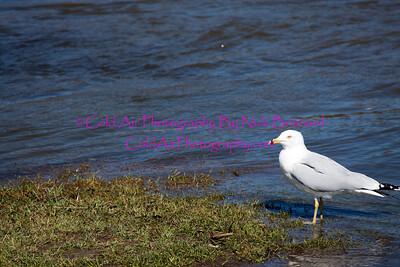 Redwing_FloodedSeagull.jpg