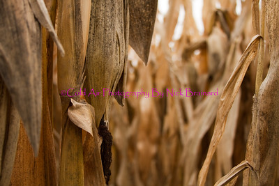Welch_Corn.jpg  This photo was taken at the beginning of December and highlights the odd weather of the year. A lot of corn in the area is still not harvested because of the moisture content.