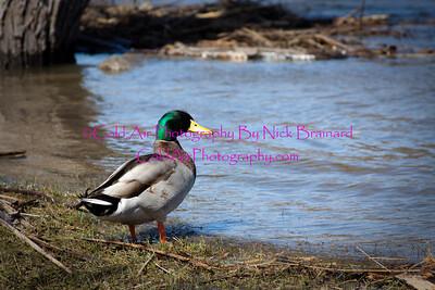 Redwing_FloodedDuck.jpg