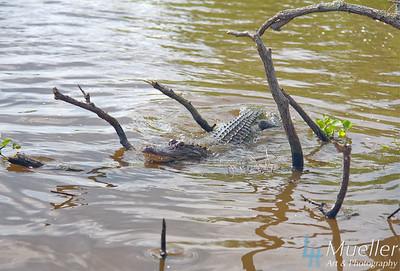 Gator3936