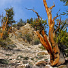 Ancient Bristlecone Pine Forest, CA.