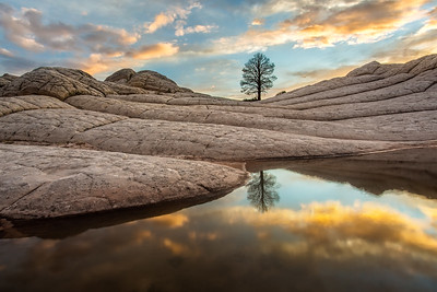 White Pocket Pine