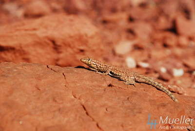 Lizard sunbathing in Southern Utah