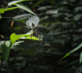 Nephila clavipes / Banana Spiders