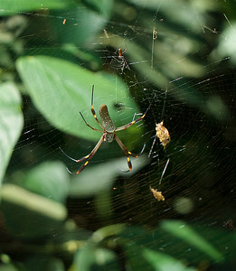 Banana Spider Male (little one) and Female