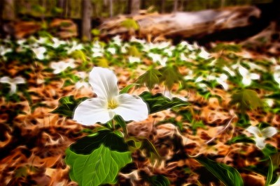 White Trillium Snake Mountain, Addison, VT