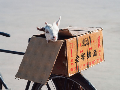 Goat on the road, Harbin, China, June 1984