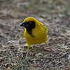Spotted-backed Weaver