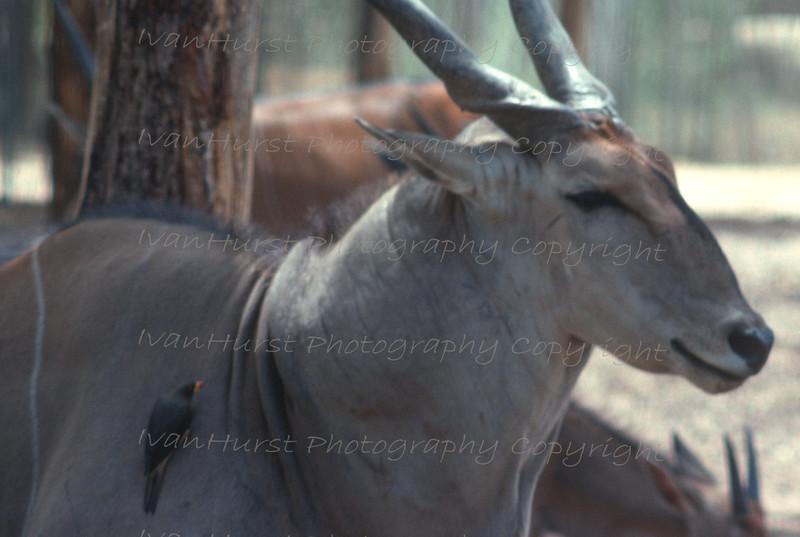 Giant Eland at Waza