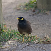 Mynah<br /> Mynah in the grounds of Legends Hotel, Mauritius
