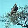 Nubian Vulture in tree