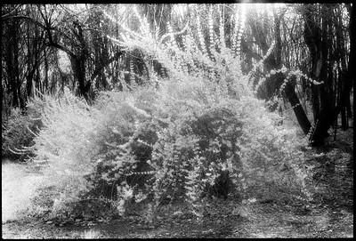 Forsythia, Spring 1993.