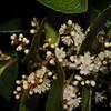 SAJ1238 Symplocos cochinensis subsp. leptophylla var. sogeriensis