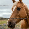 Horse at barbed wire fence