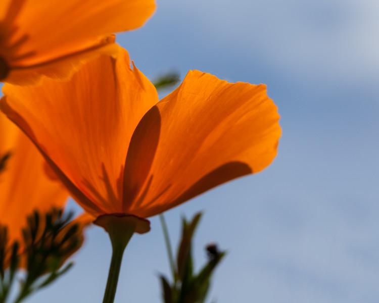 Skygazing poppies