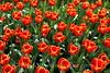 Keukenhof Gardens - Tulips 4