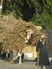 Farmer bringing Sugar Cane to Market