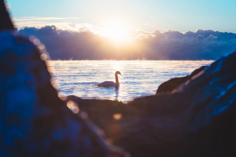 Swan in Mist