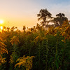 A Golden Sunrise in the Field