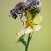 Hoverfly - Eristalis sp