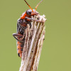Soldier Beetle - Cantharis rustica