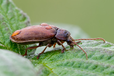 Orchid Beetle