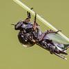 Slender footed Robber Fly - Leptarthrus brevirostris