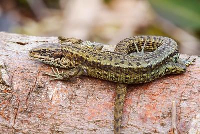 Common Lizard - (male)
