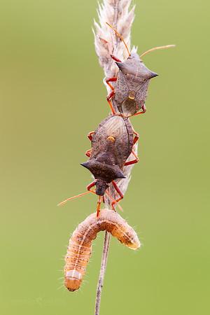 Spiny Shieldbug