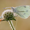 Small White - Pieris rapae