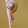 White lipped Snail - Cepaea hortensis