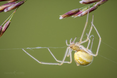 Comb-footed Spider