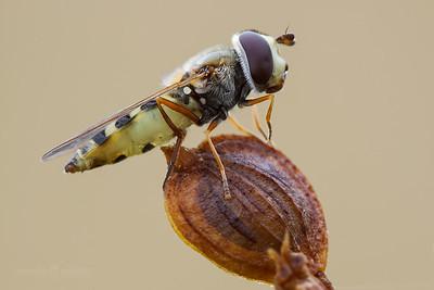 Hoverfly (parasitized)