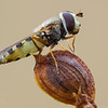 Hoverfly - Eupodes species (parasitized)