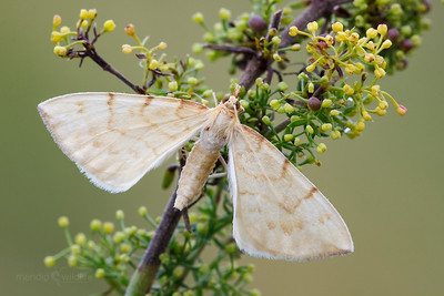 Barred Straw Moth